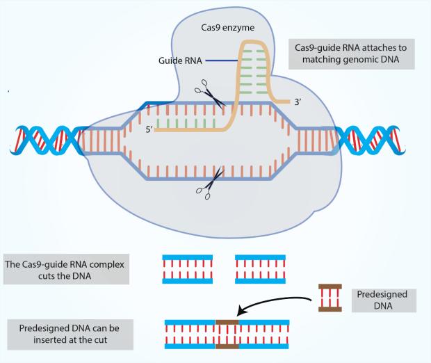 CRISPR Gene editing process