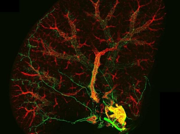 Mouse lung lobe visualized using confocal microscope