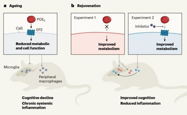 NAD-biosynthetic pathways regulate innate immunity