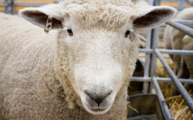 White sheep with a tag in ear looking friendly