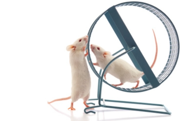 Two white mice playing on an exercise wheel