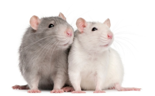 One gray rat and one white rat snuggling side by side