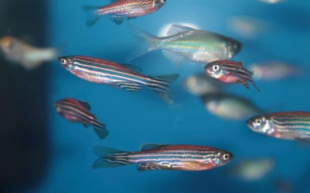 Zebra fish in a tank