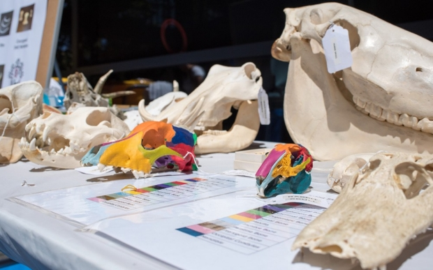 Colorful student projects of painted animal skulls on a table