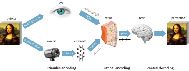 A schematic representation of the way physical objects are perceived by the brain. In healthy vision, the eye detects light waves in the retina, which are encoded by the retina into spike trains traveling to the brain. In artificial vision, a camera detects external stimuli, which are encoded into pulses sent to an electrode array.