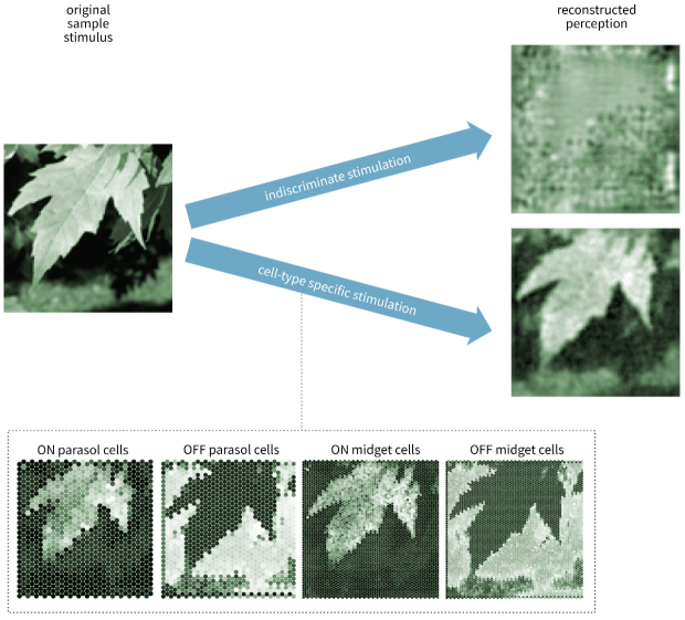 A sample image of a leaf shows much better reconstruction when cell-type specificity is taken into account. With indiscriminate stimulation, only a blurry, unrecognizable image can be reconstructed. With cell-specific stimulation a recognizable image of the leaf appears.