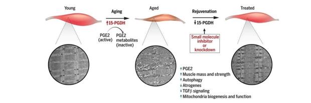 PGE2 muscle summary