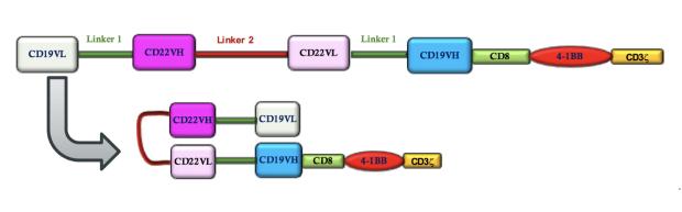 Dual targeting CD19/CD22 loop CAR molecule