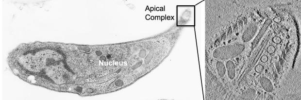 apical complex
