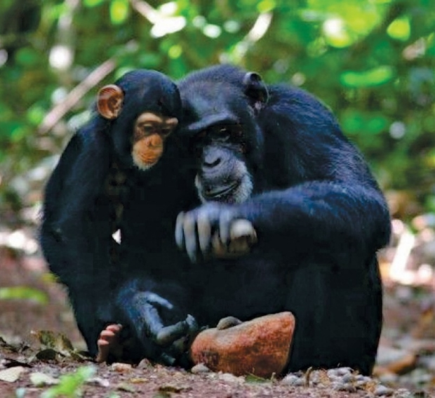 image of child gorilla observing parent about tap nut with rock