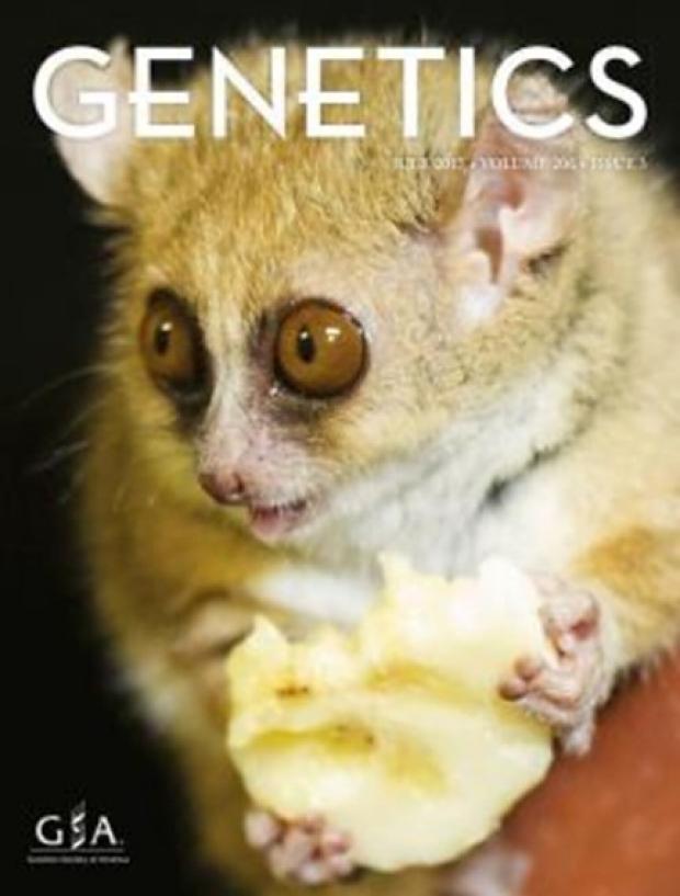 lemur holding a banana piece