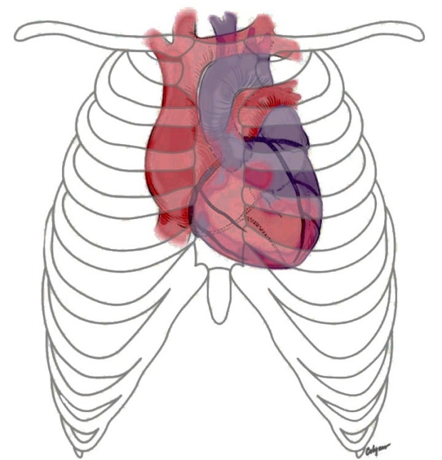 illustration of heart and ribs