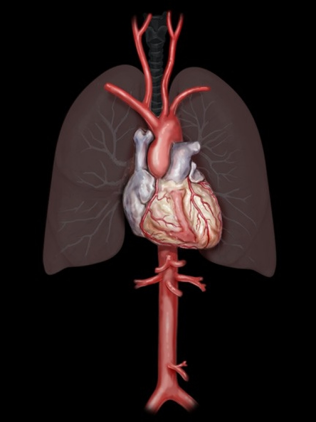 medical illustration of lungs and heart