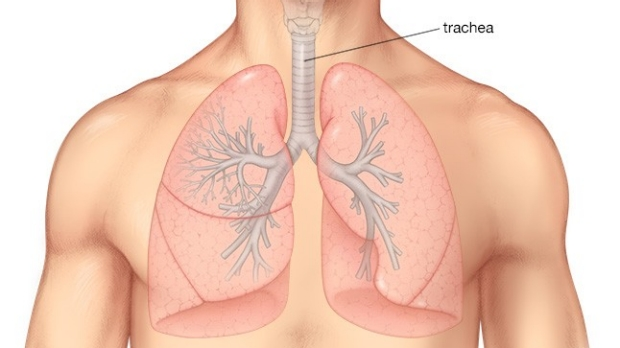medical illustration of the airway and lungs