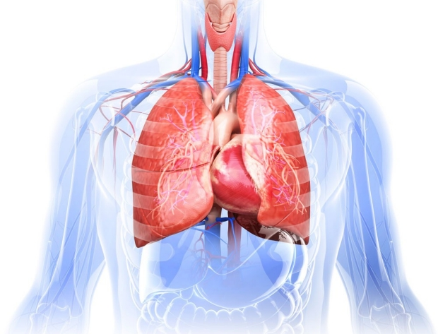 medical illustration of torso, lungs, and heart