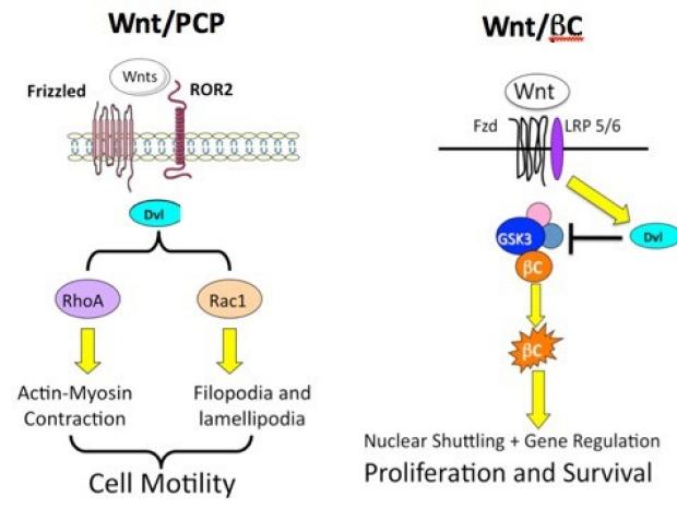 Wnt7a in Pulmonary Angiogenesis