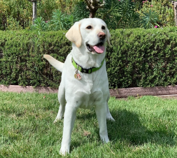 Golden Lab therapy dog