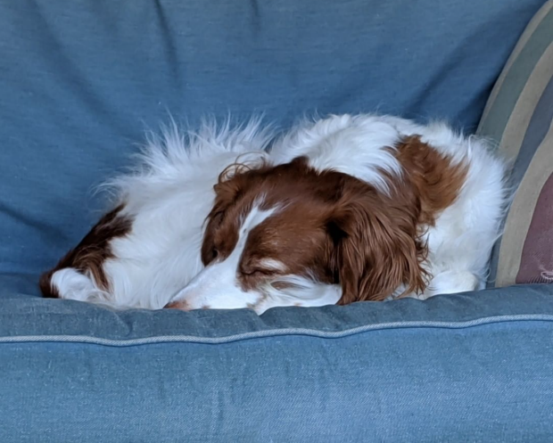 Sleeping therapy dog on blue couch