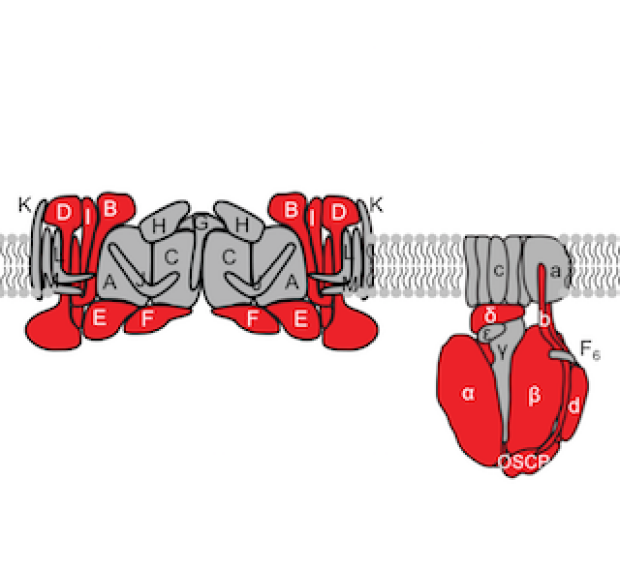 illustration of the electron transport chain of mitochondria