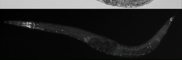 Immunofluorescence labeling of neuronal nuclei