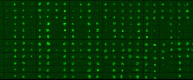 Microscale chip of human induced pluripotent stem cells differentiating into endothelial cells (green)