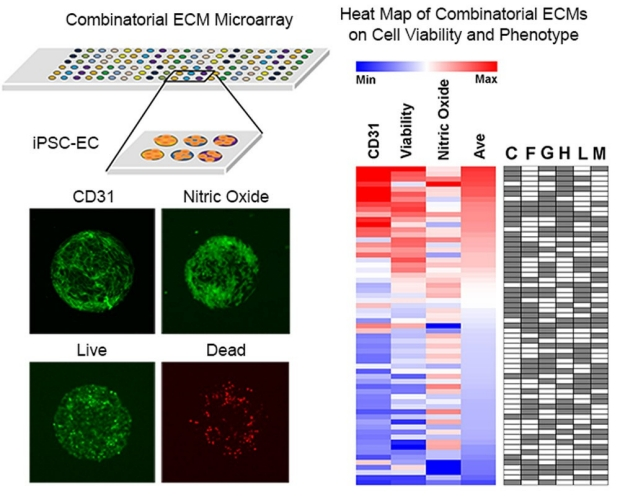 heat map of combinatorial ECMs on cell viability and phenotype