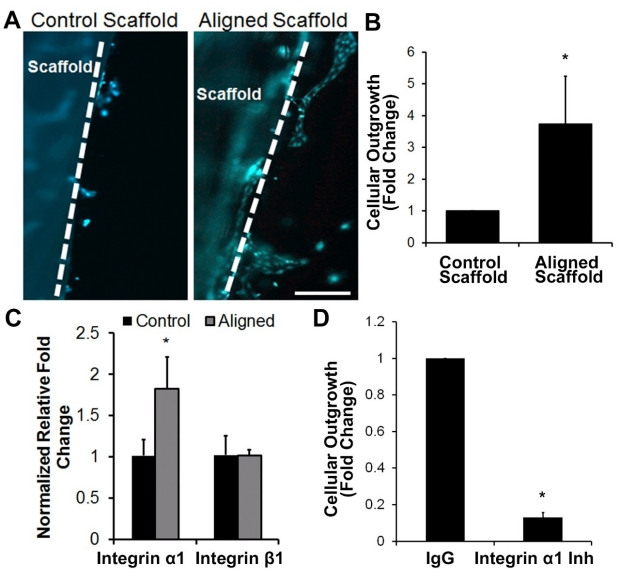 Endothelial outgrowth from aligned nanofibrillar scaffolds