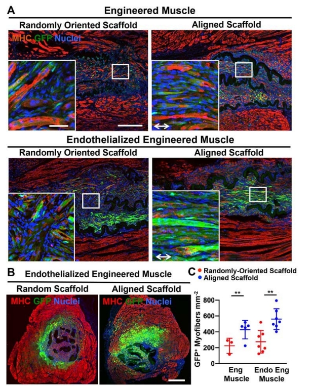 graphic of Implantation of murine engineered skeletal muscle in a mouse model of volumetric muscle loss