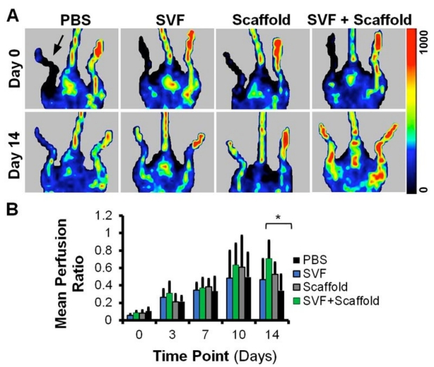 graphic of Mean blood perfusion recovery after implantation of aligned nanofibrillar scaffolds seeded with SVF