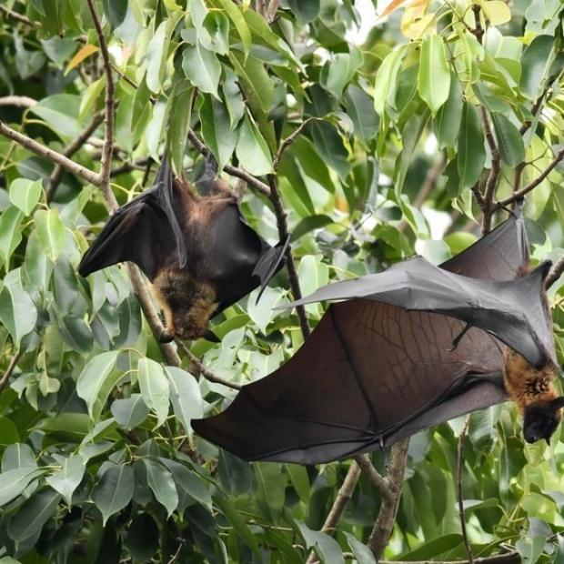 fruitbats can transmit the virus
