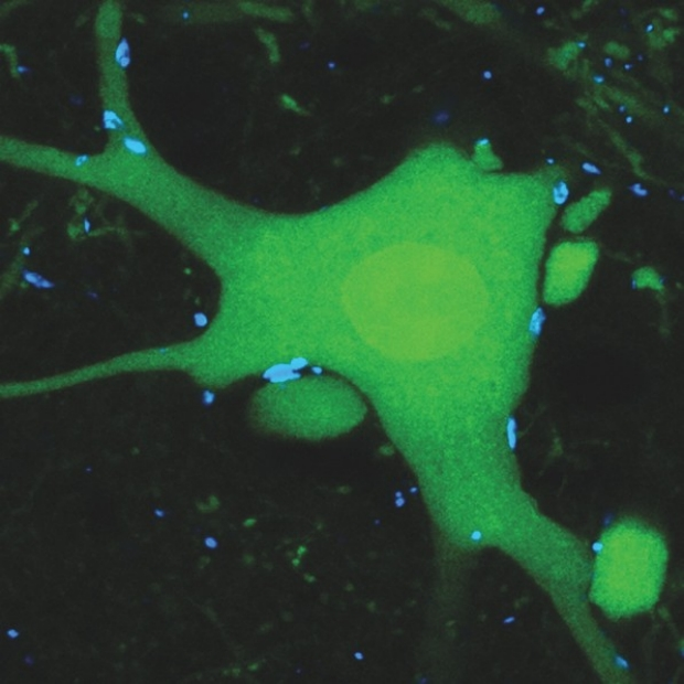 spinal circuits underlying locomotor function