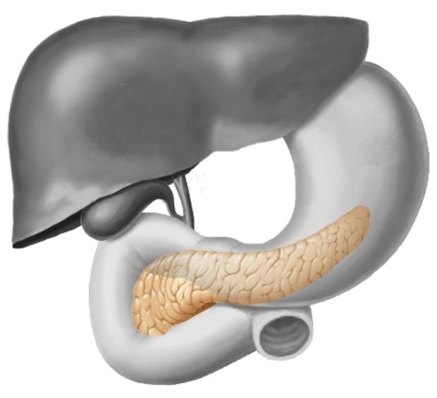 Illustration highlighting pancreas