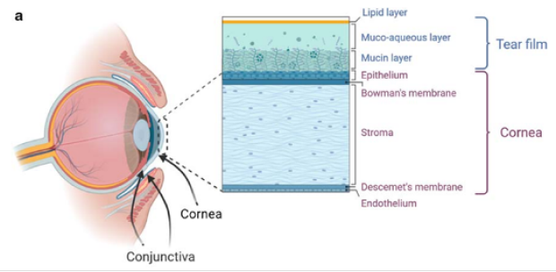 Modeling and Restoring the Ocular Surface Lubrication
