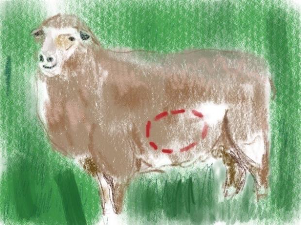 sheepchimera