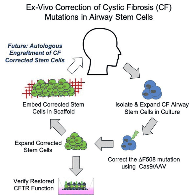 """Featured Article: """"""""High-Efficiency, Selection-Free Gene Repair in Airway Stem Cells from Cystic Fibrosis Patients Rescues CFTR Function in Differentiated Epithelia."""", February 2020"""