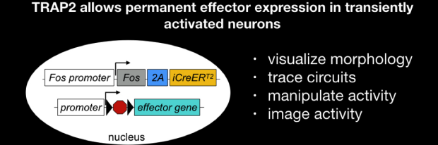 TRAP2 allows permanent effector expression in transiently activated neurons