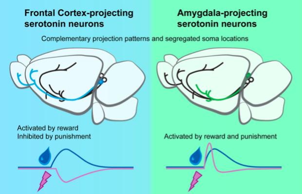 Anatomically Defined and Functionally Distinct Dorsal Raphe Serotonin Sub-systems