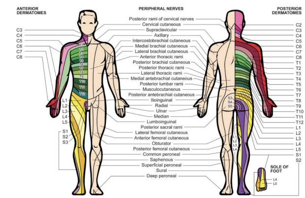Peripheral nerve study