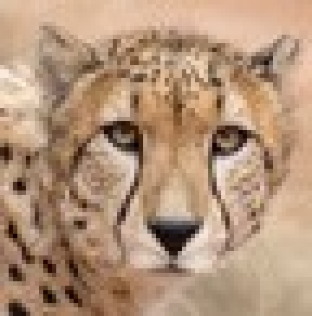 How the cheetah got its stripes: A genetic tale by Stanford researchers