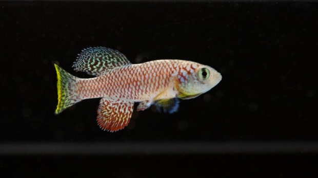 Tiny fish makes big splash in aging research at Stanford