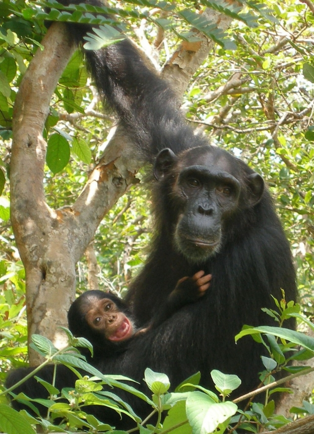 Chimps from Gombe
