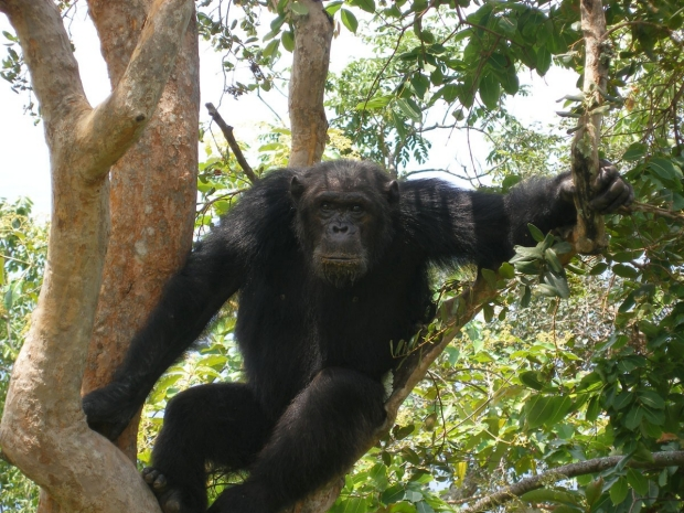 Chimp from Gombe