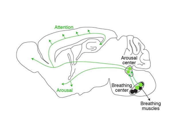 Diagram of a brain