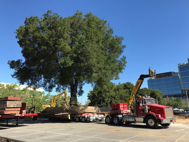 Large oak tree on the back of a semi-truck