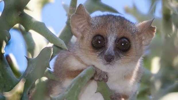 Mouse lemur as model for human disease