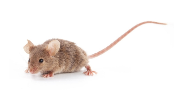 Social influences can override aggression in male mice
