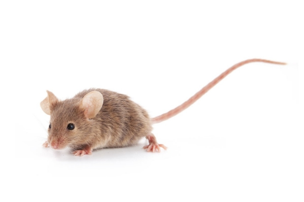 A mouse with its tail in the air