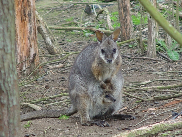 A tammar wallaby with a baby in its pouch