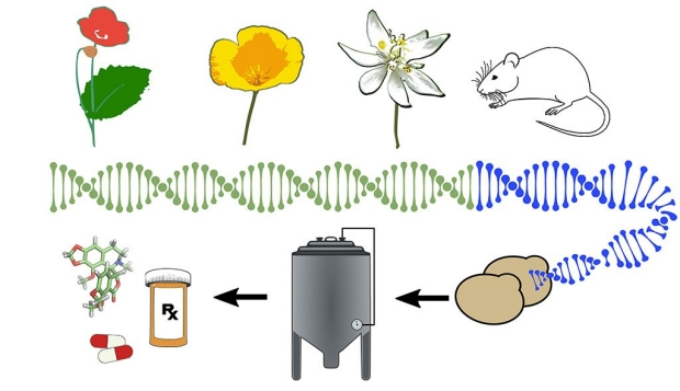 Illustration of the process to produce noscapine in yeast