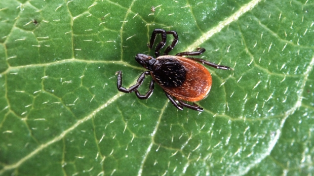 Potential treatment for lingering Lyme disease
